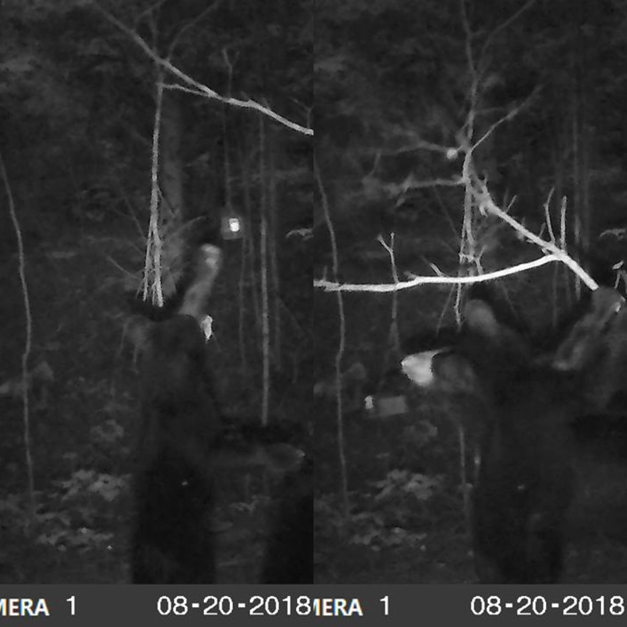Black bear sniffing ScentBlaster in North Georgia