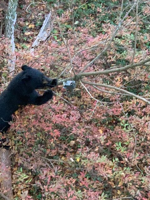 Black bear attracted to ScentBlaster hanging off a tree limb