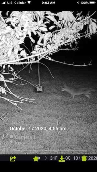 Coyote caught on trail cam at a ScentBlaster hanging from a tree limb